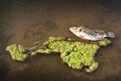 Algues - Hypoxie